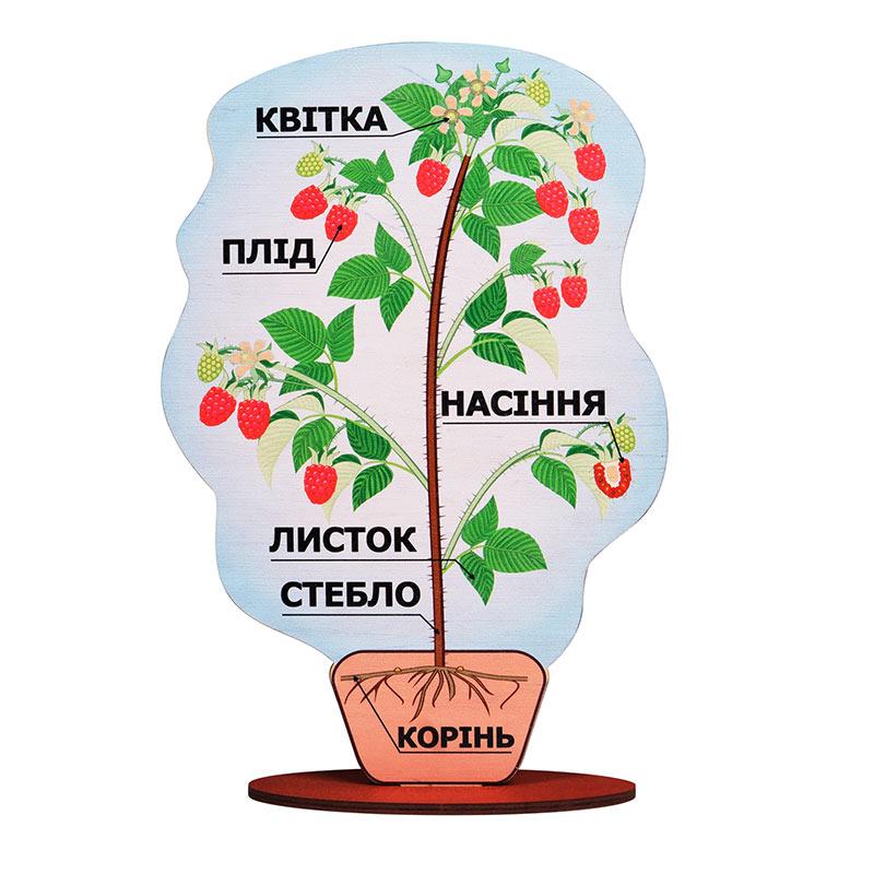 Модель строения растения (на подставке) Малина А381 Komarovtoys